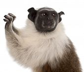 Close-up of Pied tamarin, Saguinus bicolor, 4 years old, in front of white background poster