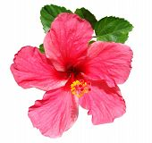 stock photo of hibiscus flower  - Pink hibiscus flower and green leaves against white background - JPG