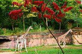 Giraffe frolicking
