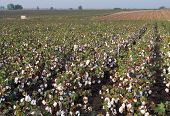 Cotton Field Pella Region Northern Greece