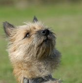 Purebred  Cairn Terrier poster