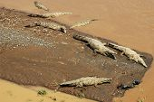 Seven American Crocodiles in river and on sandbar (aerial view)