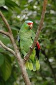 Red-Lored Amazon Parrot on branch of tree