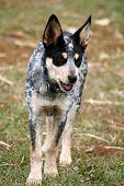 image of blue heeler  - 4 month old female Blue Heeler pup  - JPG