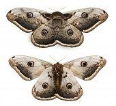 die größten europäischen Moth, die riesigen Pfau Schmetterling Saturnia Pyri an white background