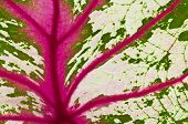 Detail Of Caladium Leaf