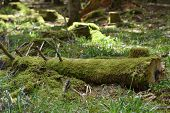 Beautiful, Bright And Dense Moss On A Sawn Fallen Tree In The Forest Schwarzwald, Germany. Moss Tree poster