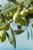 pic of olive trees  - Olives on a tree against blue sky - JPG