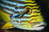 Oriental Sweet-lip & Cleaner Wrasse