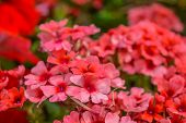 Red Pelargonium Or Geranium Flower In Summer Garden. Red Geranium Flowers On Blurred Background. Bri poster