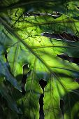 Monstera Deliciosa Leaf Backlit By Sun