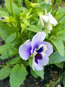 Beautiful Bright Garden Flower. Pansies. Flower For Flowerbed... poster