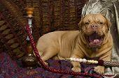 Yawning dog lying in Arabic interior with hookah