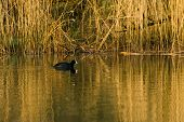 Eurasian coot swimming in water with reed