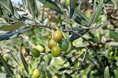 Green Olives In A Olive Tree Branch. Olive Tree With Green Olives, Close Up. Concept Of Olives, Trad poster