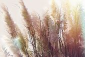 Dry Seds Of Reed - Cane, Dry Reed, Dry Cane In Meadow -beautiful Nature In Autumn poster