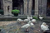 Geese in Cathedral of Saint Eulalia in Barcelona, Spain