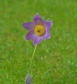 Pasque Flower in meadow