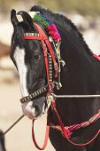 Black Marwari Stallion