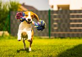 Beagle Dog Runs In Garden Towards The Camera With Rope Toy. Sunny Day Dog Fetching A Toy. poster