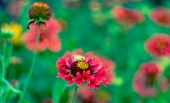 Tall Gold And Burgundy Coreopsis poster