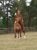 foto of fillies  - Two young horses rear up whilst playing in a field - JPG