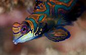 Close-up of Mandarinfish