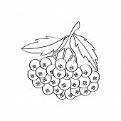 Monochrome Rowan Berries In The Vector. Isolated Object On White Background. Bunch Of Rowan Painted  poster