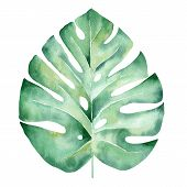 Monstera Leaf Hand Drawn Watercolor Raster Illustration. Jungle Tree Plant Isolated Clipart. Exotic  poster