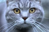 Funny Portrait Of Gray Shorthair British Cat With Orange Eyes And Increadible White Whiskers. Close  poster