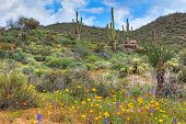 pic of ocotillo  - Blooming Sonoran Desert with Saguaros - JPG