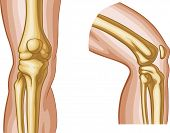 stock photo of skeletal  - Vector illustration of human knee joint bones - JPG