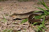 Slender Glass Lizard