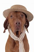 Pointer Dog With Straw Hat And Scarf