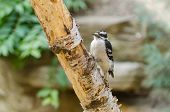 stock photo of pubescent  - A Downy Woodpecker (Picoitus Pubescents) on a Tree Limb