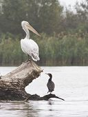 Young Dalmatian Pelican And Cormorant.