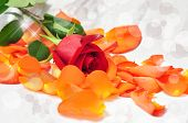Sparkling Red Rose On Orange Petals With Blurred Background