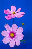 Cosmos Flowers on Blue