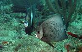 Pomacanthus Arcuatus Or Gray Angelfish
