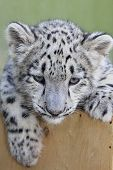 Small snow leopard