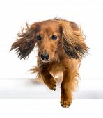 Dachshund, 4 years old, jumping over white tube against white background