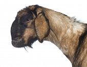 Side view Close-up of an Anglo-Nubian goat with a distorted jaw against white background