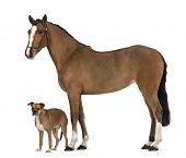 Crossbreed dog standing next to a Female Andalusian, 3 years old, also known as the Pure Spanish Horse or PRE against white background