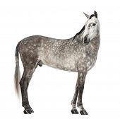 Andalusian, 7 years old, looking back, also known as the Pure Spanish Horse or PRE against white background poster