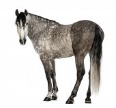 Andalusian, 7 years old, looking at camera, also known as the Pure Spanish Horse or PRE against white background