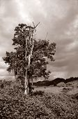 Mossy tree in sepia tone