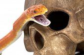 Постер, плакат: Техас крыс змеи с человеческого черепа