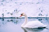 pic of veer  - Mute Swan in a cold dutch ditch seem to be able to stand in the cold winter - JPG