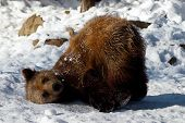 Animal Bear Cub