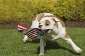 Yankee Doodle Doggie